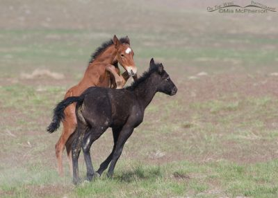 Young wild Horses play fighting