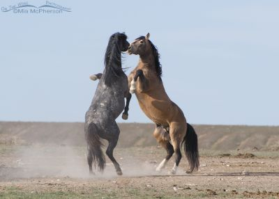 Wild Stallions fighting
