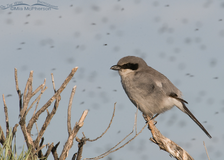 Loggerhead Shrike surrounded by Midges