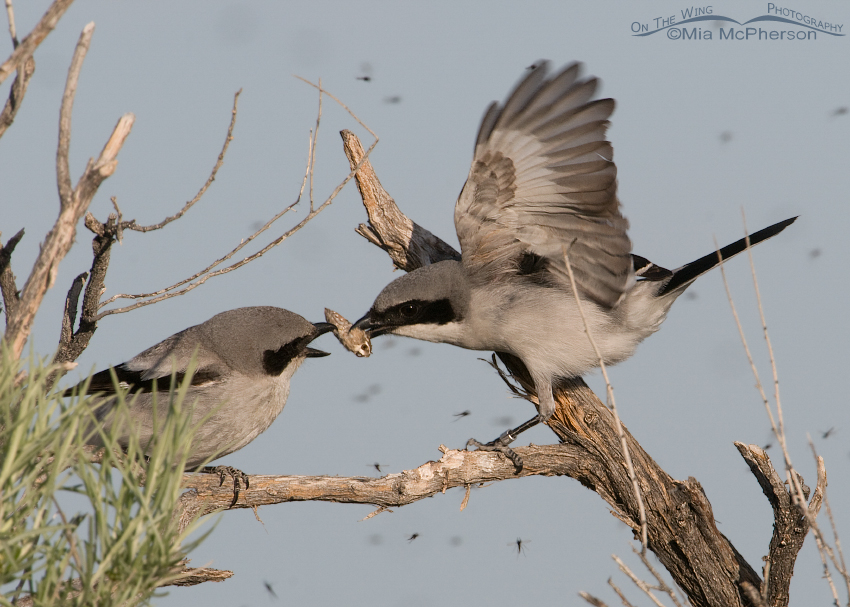 One adult Loggerhead Shrike bringing in prey to another