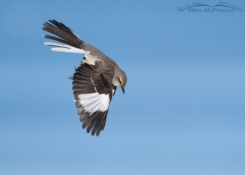 Northern Mockingbird parachuting down to a perch