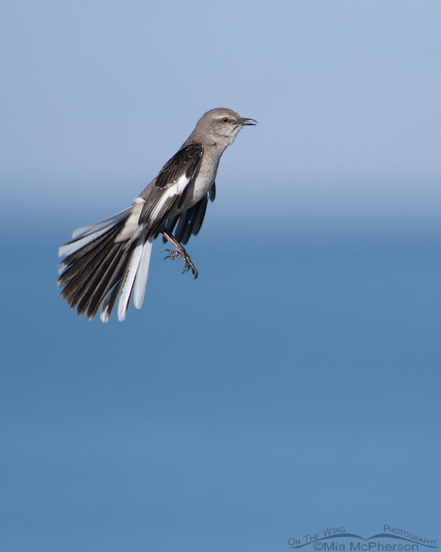Jumping Northern Mockingbird