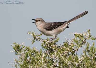 Calling Northern Mockingbird
