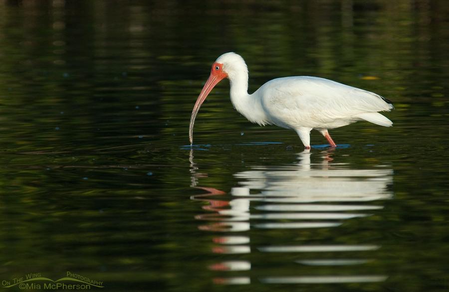 A White Ibis in dark water
