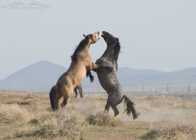 Stallions Battle for breeding rights