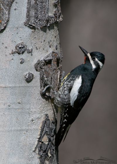 Male Williamson's Sapsucker on the nesting tree