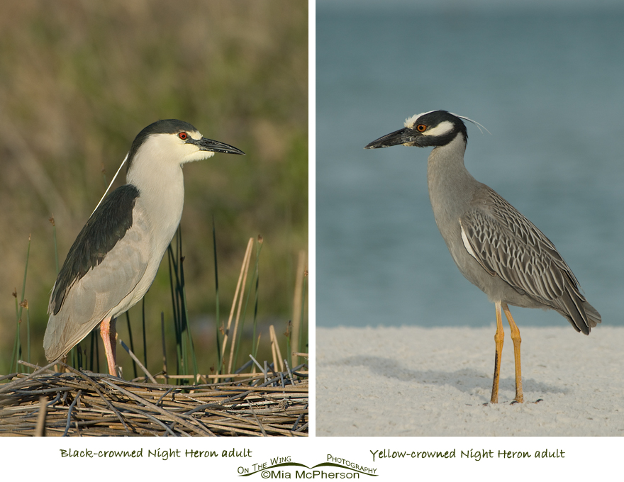 Comparing Black-crowned and Yellow-crowned Night Heron adults