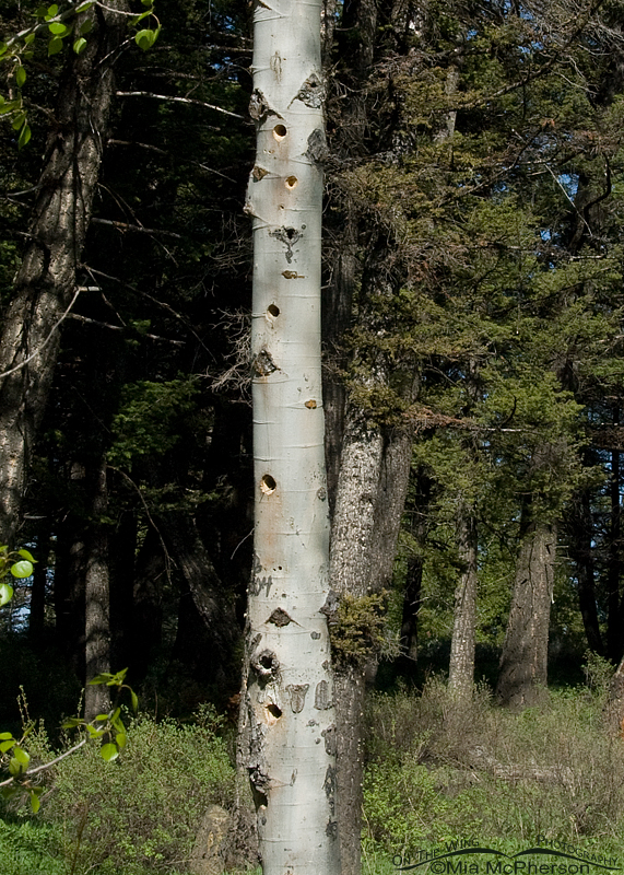 Aspen nesting tree