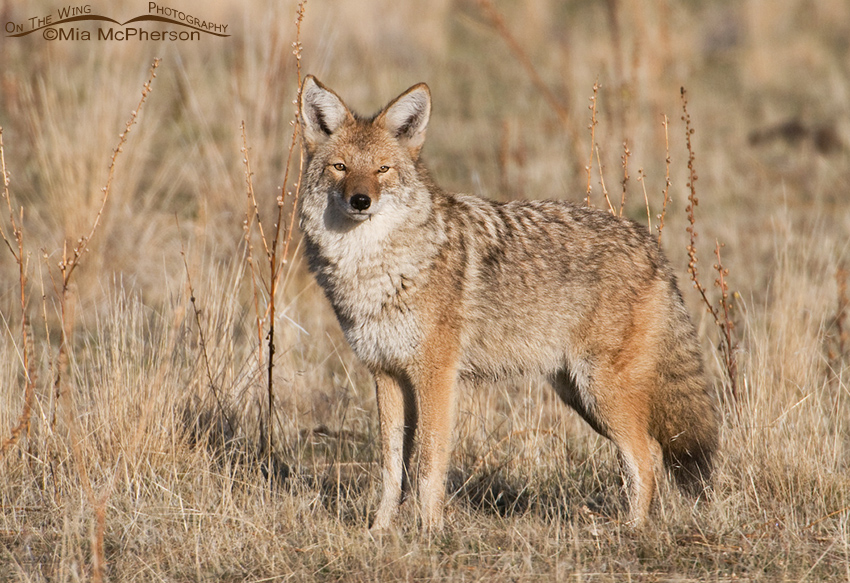 An Estimated 400 000 Coyotes Are Killed A Year Mia
