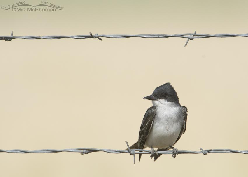 Eastern Kingbird on a wire