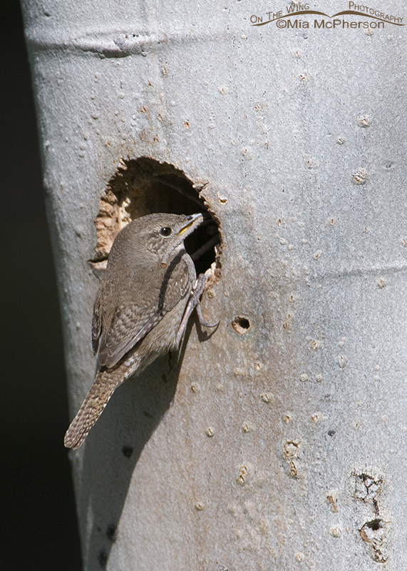 House Wren at a nesting cavity