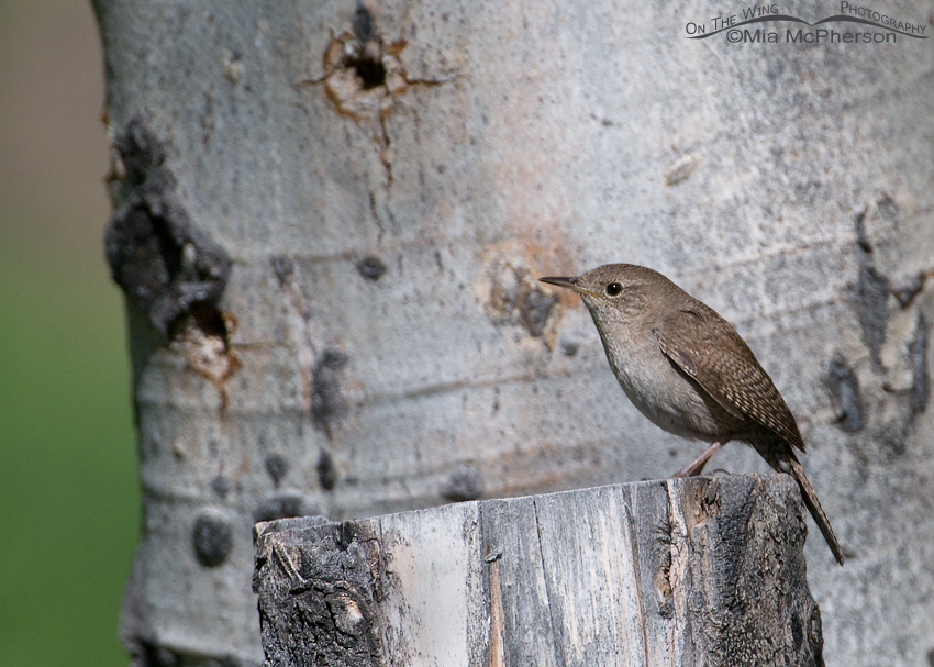 House Wren on an Aspen stump
