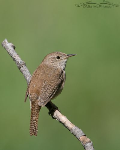 House Wren taking a break from singing and nest building