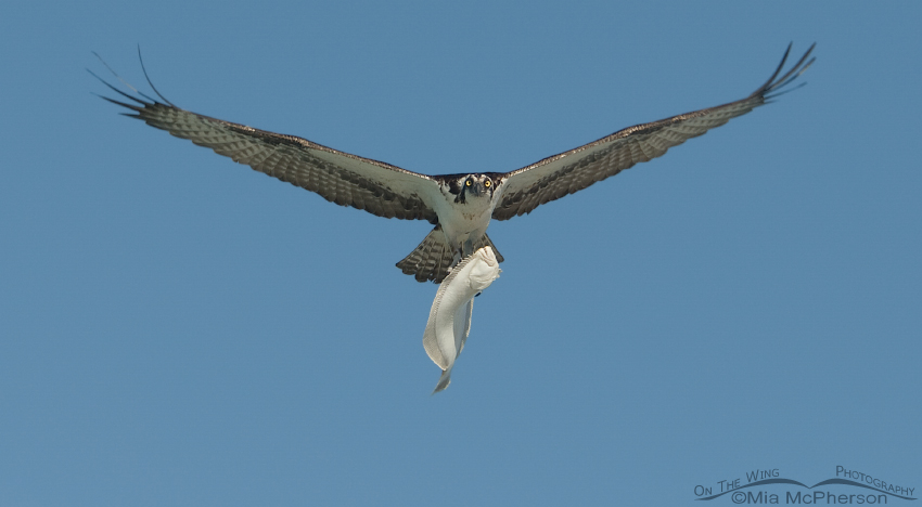 an osprey with a flounder over the gulf mia mcpherson 39 s. Black Bedroom Furniture Sets. Home Design Ideas