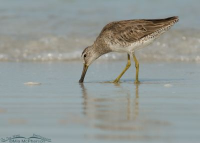 Short-billed Dowitcher feeding on the shore of the Gulf