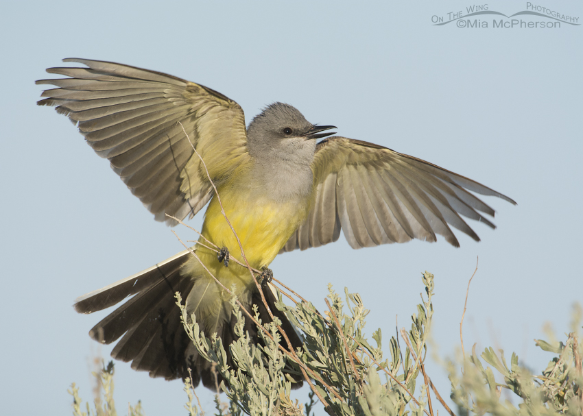 Western Kingbird courtship display