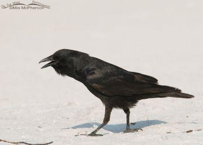 Calling Fish Crow
