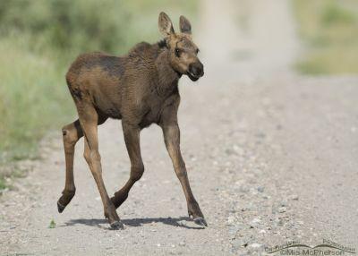 Moose calf crossing a dirt road