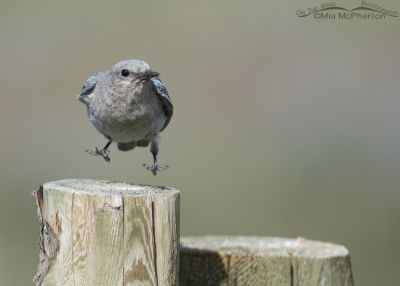 Leaping female Mountain Bluebird