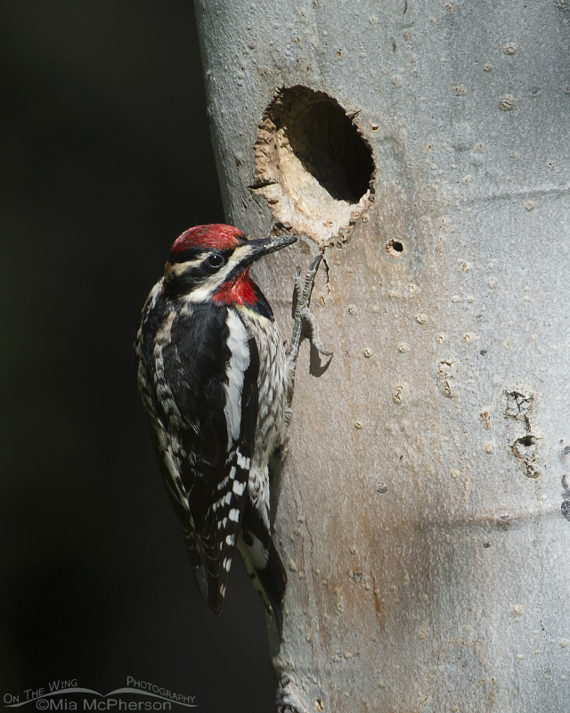 Red-naped Sapsucker checking out the Williamson's Sapsucker nest cavity
