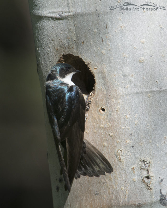 Tree Swallow at the Williamson's Sapsucker nesting cavity