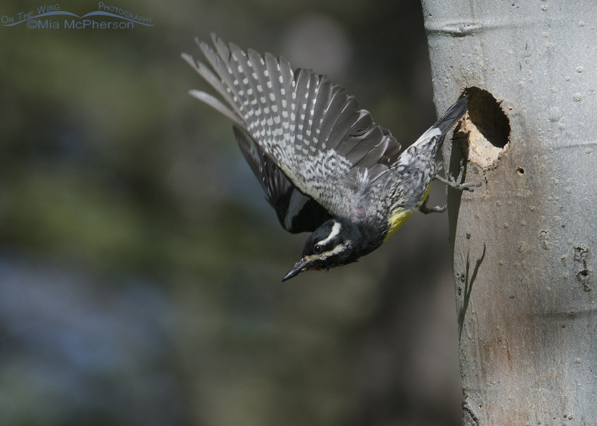Male Williamson's Sapsucker leaving the nesting cavity