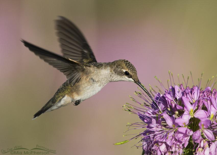 Hovering female Black-chinned Hummingbird