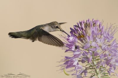 Black-chinned Hummingbird hovering at Rocky Mountain Bee Plant in August