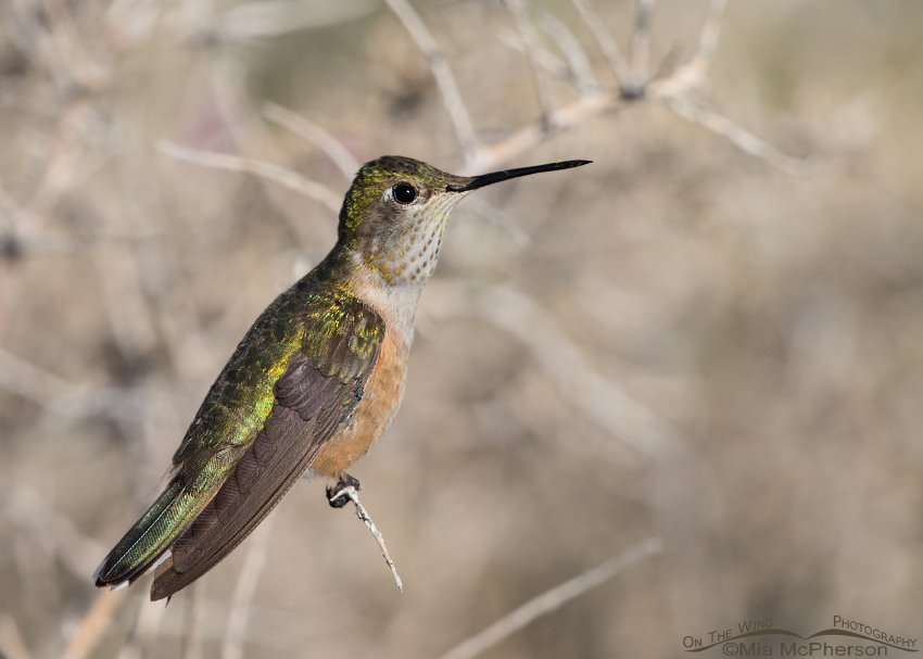 Broad-tailed Hummingbird Images