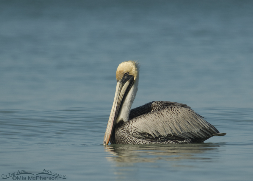 Elegant Brown Pelican in breeding plumage