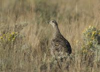 Greater Sage-Grouse, grasses and Rabbitbrush