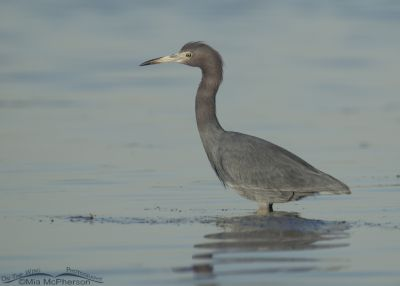 Little Blue Heron at sunset