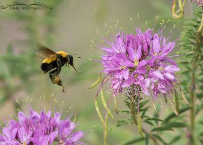 Nevada Bumble Bee in flight
