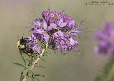Nevada Bumble Bee