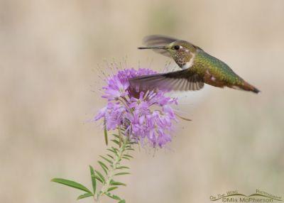Rufous Hummingbird flying