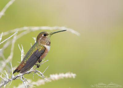 Perched Rufous Hummingbird