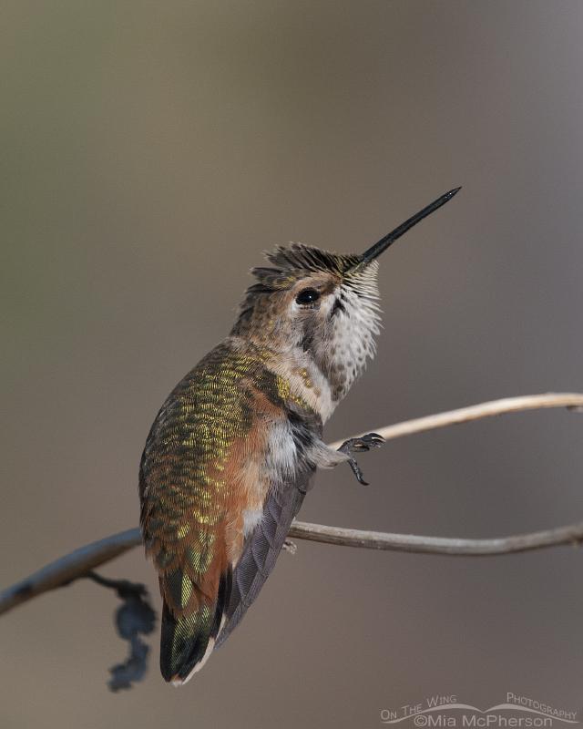 Rufous Hummingbird scratching