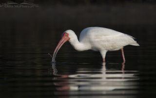 White Ibis feeding with dark mangrove reflections