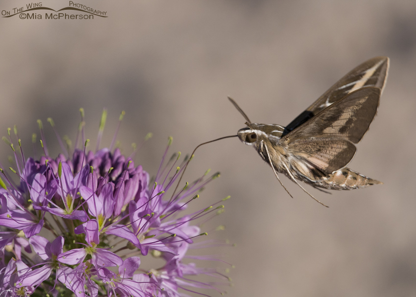 White-lined Sphinx Moth Images