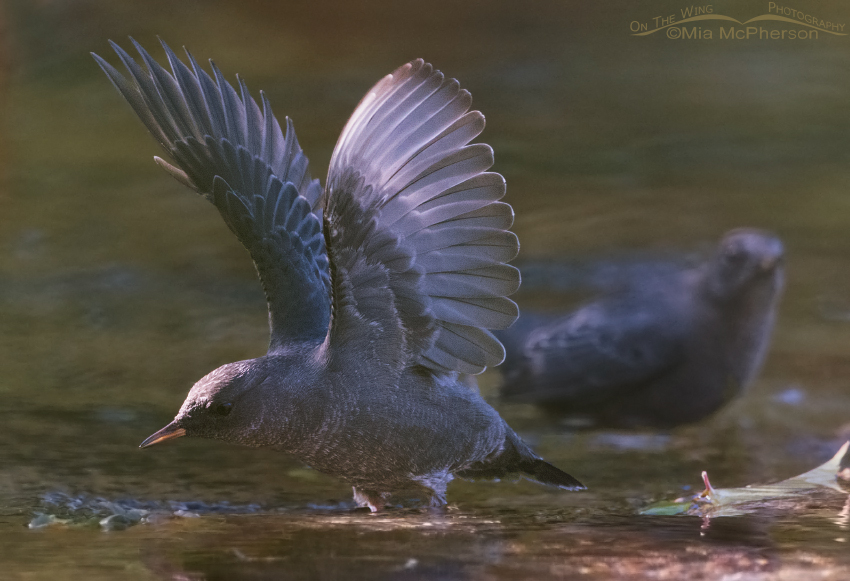 Behavioral display of a juvenile American Dipper