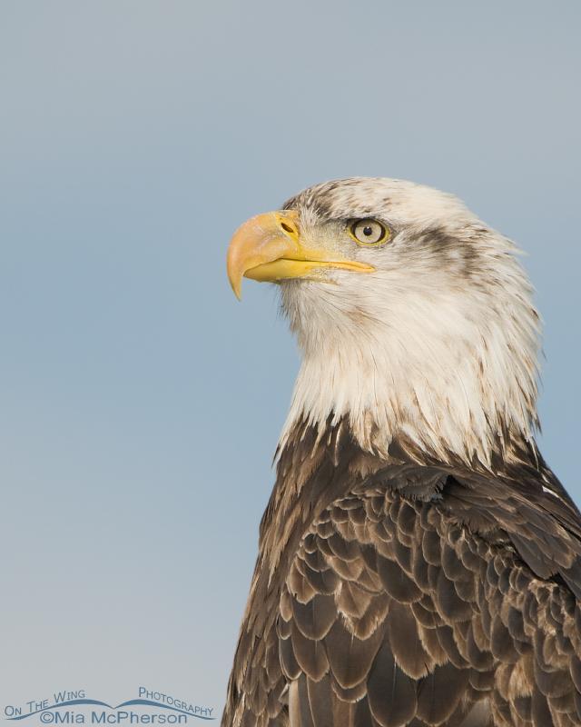 Four year old Bald Eagle portrait