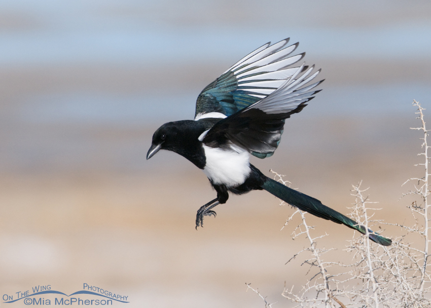 Black-billed Magpie leaving the nest