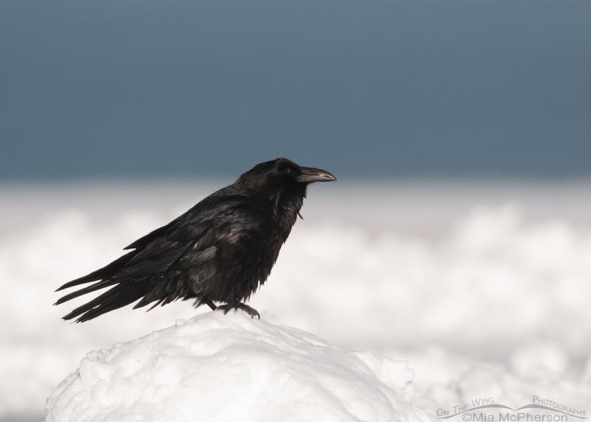 Common Raven on a mound of snow
