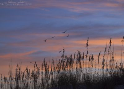 Multicolored sunrise with Black Skimmers at Fort De Soto