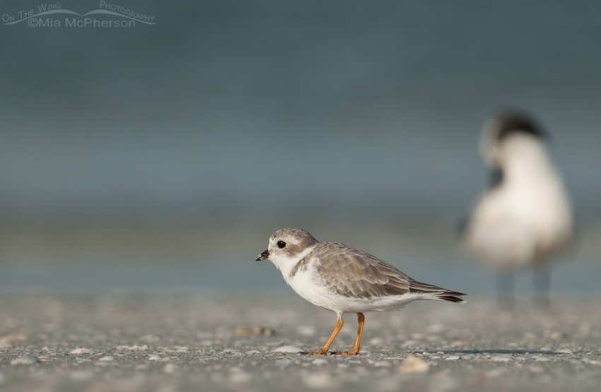 Piping Plover and friend
