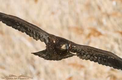 One year old Bald Eagle in flight