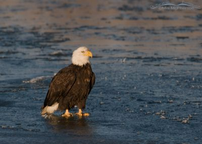 Adult Bald Eagle on the Bear River