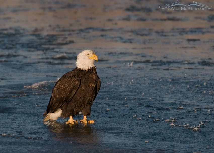 Adult Bald Eagle on the Bear River