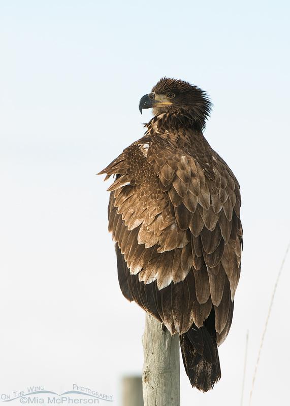 High key first year Bald Eagle