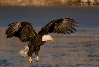 Bald Eagle landing on Bear River Christmas day 2012